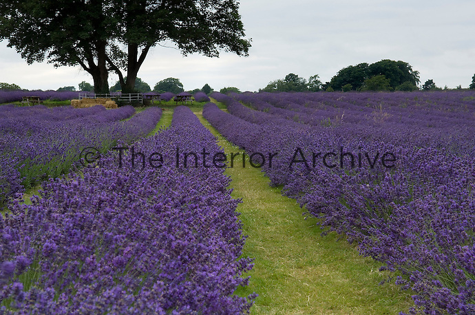 Rows of lavender stretch as far as the eye can see