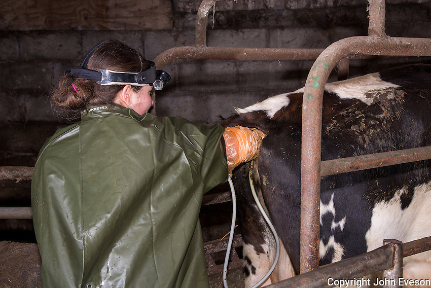 Female vet pregnancy testing a Brown Swiss dairy cow on a farm, Congleton, Cheshire.