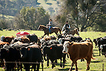 Gathering the cows and calves for branding at the Stoney Creek Corrals of the Busi Ranch, Amador County, Calif.