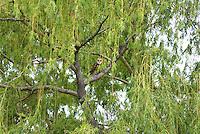 Owl - Barn