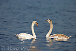 Mute Swans (Cygnus olor), adult (left) and juvenile (right), Montezuma National Wildlife Refuge, New York, USA