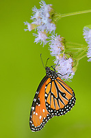379900017v a wild queen butterfly danus glippus perches on a mistflower conoclinium coelestinum in the rio grande valley hidalgo county south texas united states