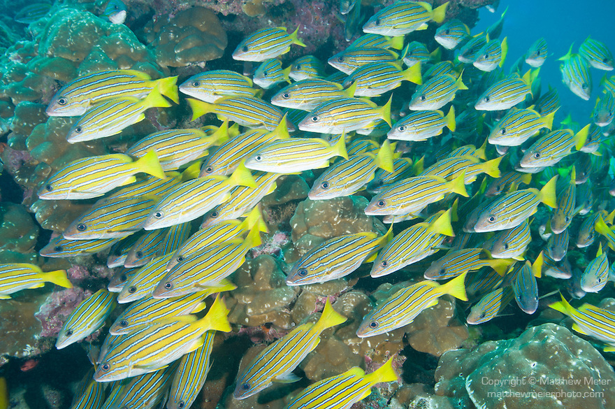 Cocos Island, Costa Rica; a polarized school of Blue and Gold Snapper (Lutjanus viridis) swimming past the coral reef