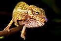 Boettger's / Blue nosed chameleon {Calumma boettgeri}  Masoala Peninsula National Park, north east Madagascar.