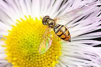 Flower Fly (Toxomerus marginatus) - Female on a Daisy Fleabane flower, West Harrison, Westchester County, New York