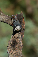 561250015 a wild white-breated nuthatch sitta carolinensis tenussuma perches on a branch in madera canyon green valley arizona united states