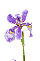 30099-00418 Blue Flag Iris (Iris versicolor) (high key white background) Marion Co. IL