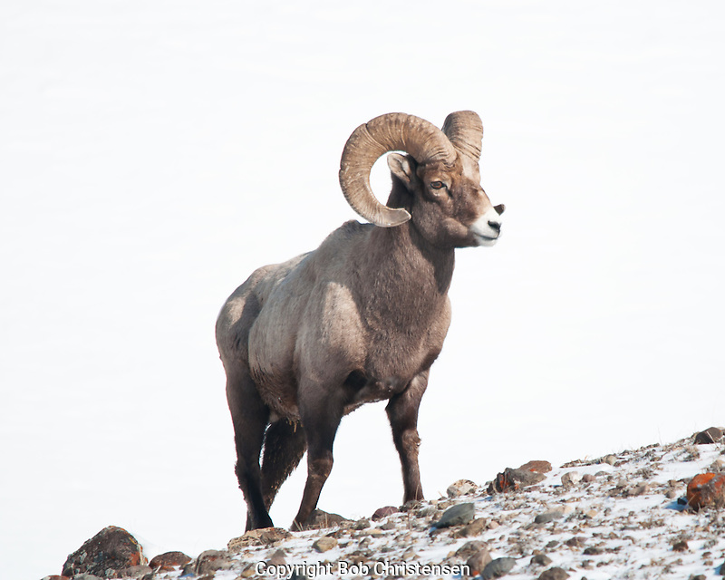 Bighorn Ram on Mountain Top