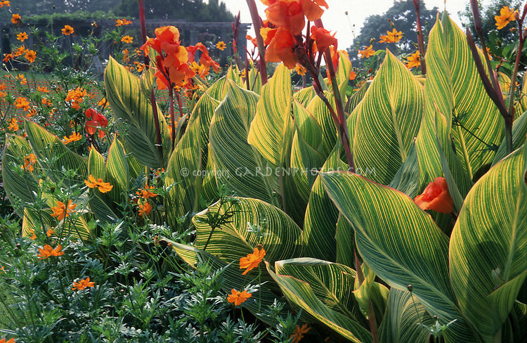Canna x generalis 'Praetoria' ('Bengal Tiger') & Bassia scoporia, Cosmos sulphureus 'Polidor', planting combination, variegated foliage leaves, orange and yellow and green hot color combination theme of annual and tender tropical plants together
