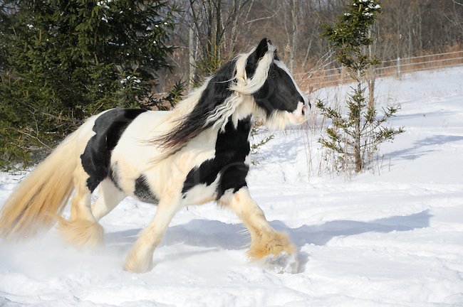 Horse walking through fresh winter snow, a black and white Gypsy Vanner paint horse moving in pasture in sunlight, a scene in rural Pennsylvania, PA, USA