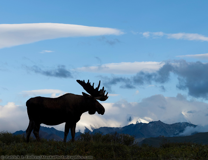 Bull moose on a ridge silhouetted against blue sky, Denali National Park, Interior, Alaska.