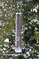 00585-03901 Purple Finch (Carpodacus purpureus) female, House Finch (Carpodacus mexicanus) male & female,  and  American Goldfinches (Carduelis tristis) on sunflower tube feeder in winter, Marion Co., IL