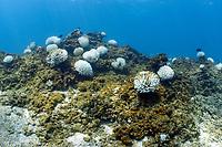 coral bleaching, bleached cauliflower coral, Pocillopora meandrina, Pearl and Hermes Reef, Papahanaumokuakea Marine National Monument, Northwestern Hawaiian Islands, Hawaii, USA, Pacific Ocean