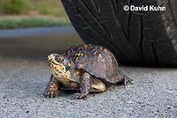 1003-0806  Male Eastern Box Turtle Crossing Paved Road Under Car and Tires - Terrapene carolina © David Kuhn/Dwight Kuhn Photography