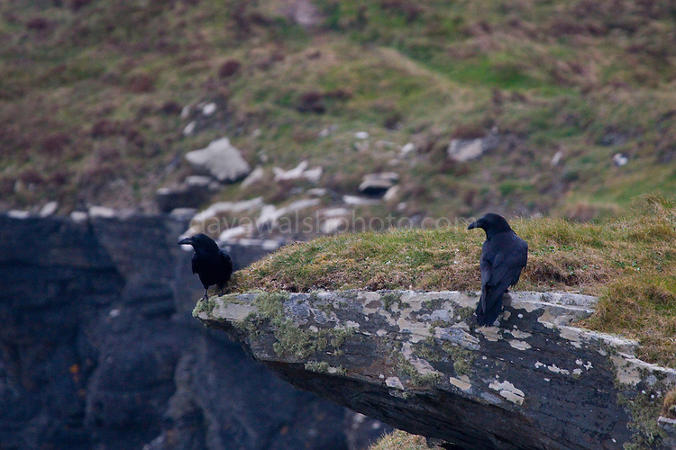 Ravens (corvus corax) on the Cliffs of Moher, near Hag's Head, Co. Clare, Ireland. Ravens are possibly my favourite bird - such character and acrobatics!