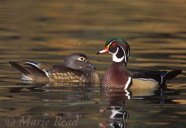 Wood Duck (Aix sponsa) pair, Orange County, California, USA<br /> Slide # B24-2275