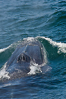 """Adult fin whale (Balaenoptera physalus) surfacing near Isla Carmen in the lower Gulf of California (Sea of Cortez), Mexico. This baleen whale is uniquely asymmetrical in its coloration; the right lower jaw is usually white in color whereas the left lower jaw is black. Also note the grey chevron pattern on the back of this animal, another defining color pattern. The fin whale believed to be the second largest animal to have ever lived on planet Earth. Within the Gulf of California there are almost 500 individual animals that do not migrate to higher lattitudes to feed in summer months, they are considered to be """"resident"""" to the Gulf of California."""