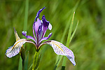 Purple iris at Steptoe Butte, Wash.