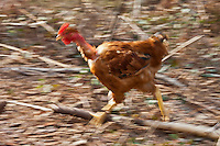 Europe/France/Aquitaine/40/Landes/Magescq: Elevage de poulets fermiers des landes élevés en liberté chez Mr et Mme Dublanc //  France, Landes, Magescq breeding range chickens high moorland freedom from Mr and Mrs Dublanc