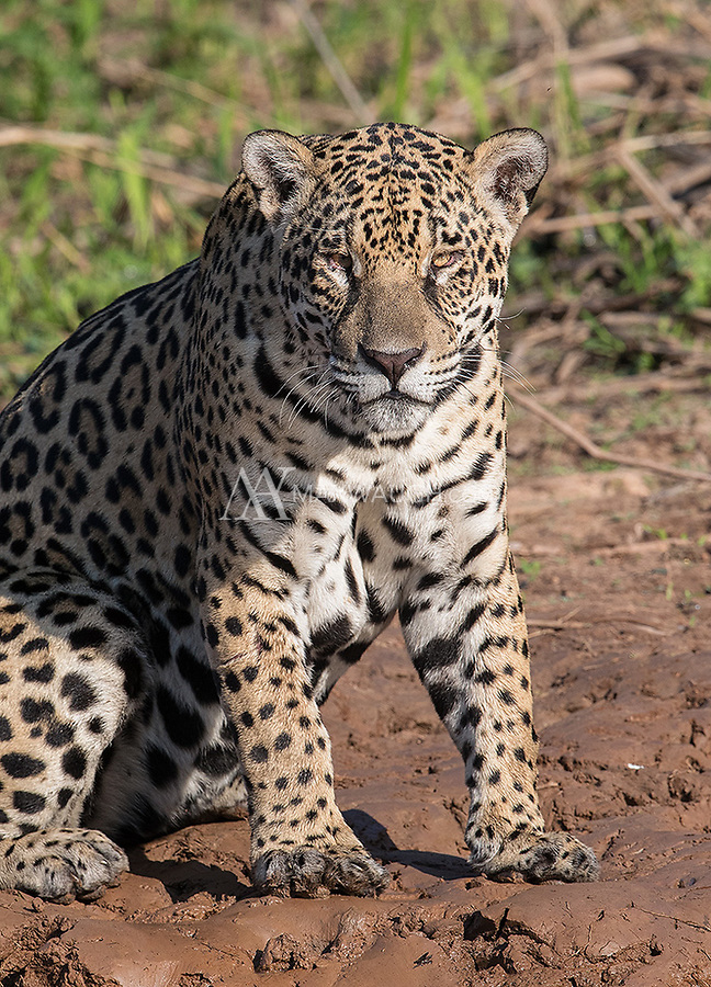 Once again, we had good luck with the jaguars of the Pantanal, with 27 sightings in nine outings.