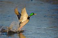 MALLARD DUCK (Anas Platyrhynchos) drake taking off from pond.