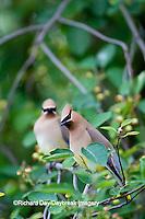 01415-02711 Cedar Waxwings (Bombycilla cedrorum)  two in Serviceberry Bush (Amelanchier canadensis), Marion Co., IL