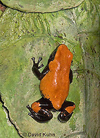 1015-07zz  Dendrobates galactonotus or Adelphobates galactonotus, Splash Back Poison Arrow Frog, Splash-back Dart Frog  © David Kuhn/Dwight Kuhn Photography.