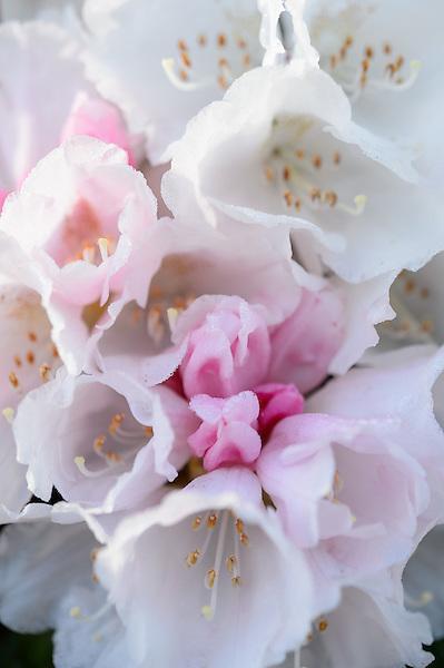 Rhododendron yakushimanum 'Koichiro Wada'