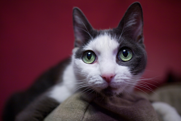"""""""Violet"""" a cat portrait on the couch 2, NYC"""
