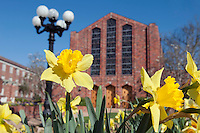 Daffodils blooming at the Chapel of Memories (photo by Beth Wynn / © Mississippi State University)