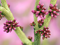 Close up of Avondale Redbud buds (Cercis candensis). Oregon