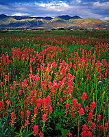 Paintbrush in Swaner Nature Preserve, Park City, Wasatch Mountains, Utah