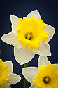 Narcissus 'Georgie Boy', shortlisted for Plant of the Year at the RHS Chelsea Flower Show, 2014.