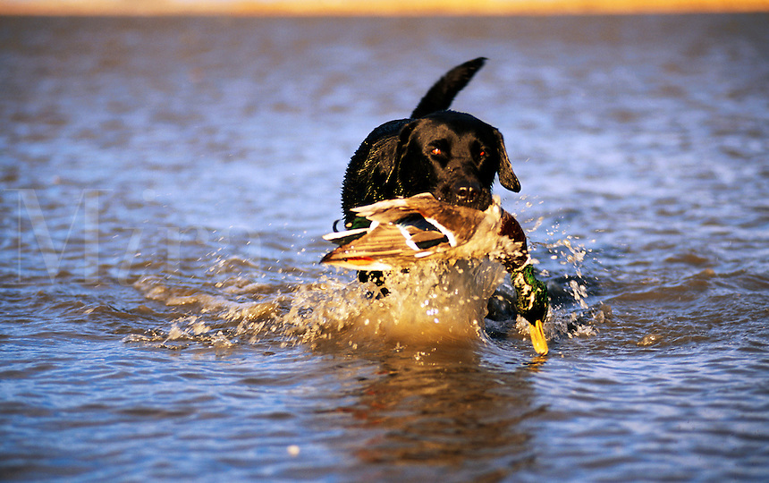 A Black Labrador dog retrieves a duck in water.