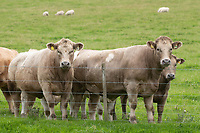 Crossbreed store cattle out on grass<br /> &copy;Tim Scrivener Photographer 07850 303986<br />      ....Covering Agriculture In The UK....