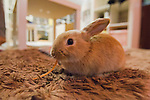 February 26, 2012, Tokyo, Japan - A rabbit is seen eating a piece of carrot at a rabbit cafe where customers can come in to have a drink and play with rabbits. (Photo by Christopher Jue/AFLO)