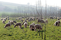 Poll Dorset sheep in trees planted to encourage free-range poultry outside, Stoodleigh, Devon.