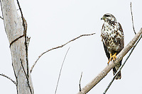 An immature Cuban Black Hawk (Buteogallus gundlachii), perched, in Las Salinas Wildlife Refuge, Zapata Peninsula, Cuba.