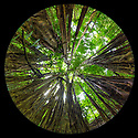 Strangler Fig {Ficus zarazalensis}, a species endemic to the Osa Peninsula, growing in lowland rainforest. Photographed with a circular fisheye lens. Osa Peninsula, Costa Rica.