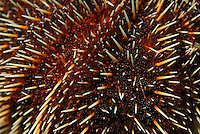 White Sea Urchin (Tripneustes depressus), extreme close-up, underwater view,, Ecuador, Galapagos Archipelago,