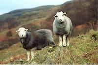 Herdwick ewes, Langdale, Cumbria.