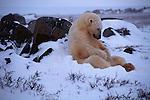 A polar bear sits in a snow bank in Canada.