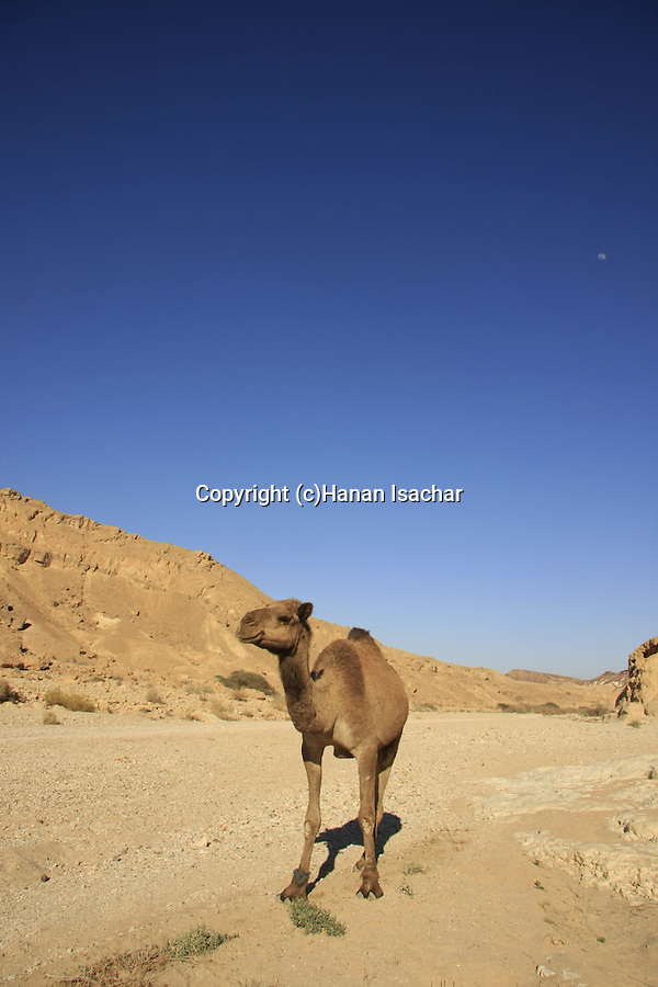 Israel, Negev, a camel in Wadi Nekarot on the ancient Incense Route, a World Heritage Site