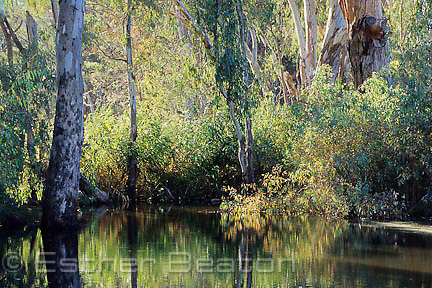 River Red Gums around small billabong off Murray River. Wonga Wetlands, NSW