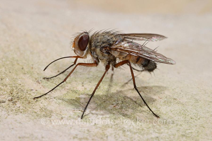 Raupenfliege, Prosena siberita, Tachinidae, Raupenfliegen, Igelfliegen, Schmarotzerfliegen, tachinids, parasitic flies