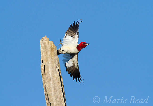 Red-headed Woodpecker (Melanerpes erythrocephalus), taking flight from perch, May's Point area, Montezuma Wildlife Refuge, New York, USA (Digitally retouched - eye repair)