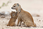 Yellow mongoose, Cynictis penicillata, with young, Kgalagadi Transfrontier Park, South Africa