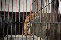 CHINA. Hubei Province. Wuhan. A tiger in an enclosure in Wuhan zoo. In many of China's 'second-tier' cities, away from the modern zoos in the megacities of Beijing and Shanghai, hide a plethora of smaller unknown zoos. In these zoos, what can only be described as animal abuse is subtly taking place in the form of deprivation of light, space, sanitation and social contact with other animals. Living in awful conditions, these animals spend there days entertaining tourists who seem oblivious to the animals' plight and squalid existence. 2008.