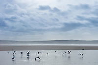 Flock of seagulls on sandy beach at Woolacombe, North Devon, UK