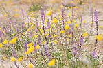 Anza-Borrego Desert State Park, Borrego Springs, California; a mix of purple flowering Arizona Lupine (Lupinus arizonicus) plants and yellow Desert Sunflowers growing from the sand